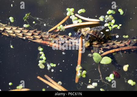 Berlin, Deutschland - Bee Getränke Wasser aus einem Teich - Stockfoto