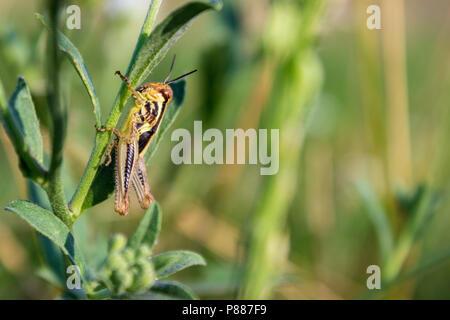 Eine Heuschrecke, möglicherweise eine gefleckte Flügel, beruht auf einer wilden Blume Stammzellen in einer Weide auf einer Ranch in der Sandhills Region North Central Nebraska. - Stockfoto