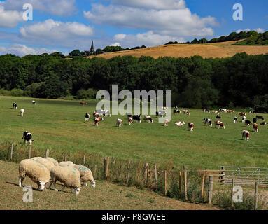 Kühe und Schafe weiden auf Ackerland in der fluss Douglas Tal in Lancashire unter Parbold Hügel, unter einem blauen Himmel mit flauschigen weissen Wolken. - Stockfoto