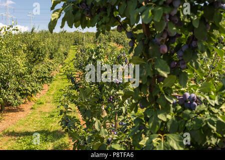 Frische reife Blau Violett Pflaumen auf dem Zweig im Orchard an einem schönen Sommertag im westlichen Deutschland. - Stockfoto