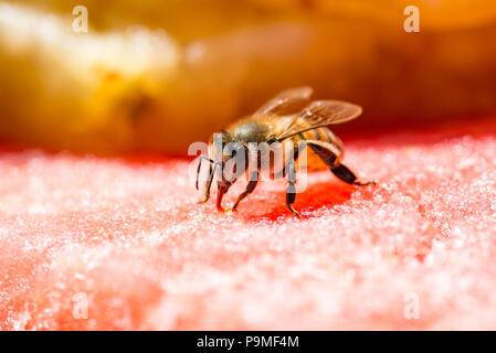 Biene das Trinken aus einer Wassermelone - Stockfoto