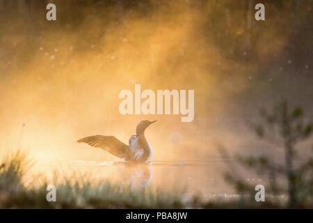 Red throated Loon Flügeln an nebligen Morgen am See - Stockfoto