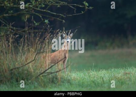 Europäische Reh, Hyla arborea - Stockfoto