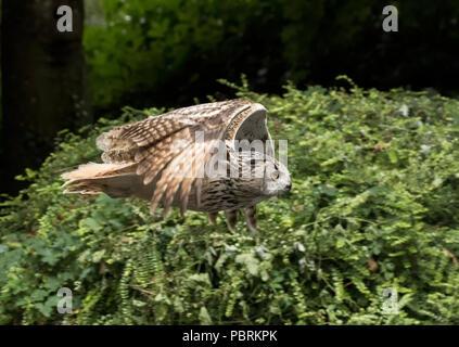 Europäische Uhu im Flug - Stockfoto
