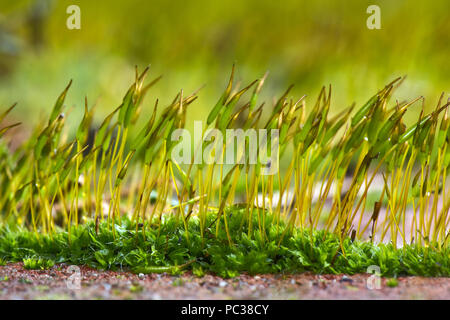 Jungen sporophyten der Wand verschrauben - Moos, Tortula muralis, wachsende Vom gametophyte Kissen auf einen Garten Wand - Stockfoto