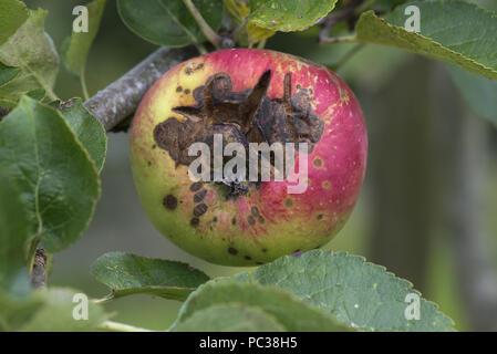 Nekrotische Flecken und Risse verursacht apple Venturia inaequalis Eiterweiß wird, auf einen reifen Apfel am Baum, Berkshire, August - Stockfoto