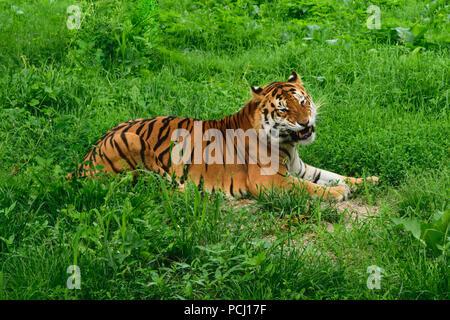 Eine Tiger (Panthera tigris) ruhen im grünen Gras und zeigt Zähne - Stockfoto