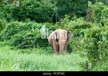 Asiatischer Elefant (Elephas maximus) - Thailand Eléphant d'Asie - Stockfoto