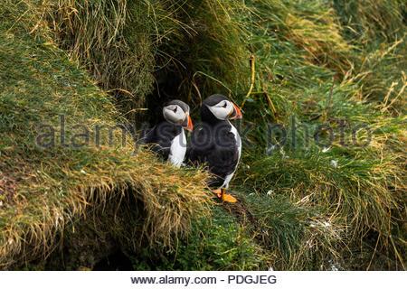 Zwei Papageientaucher ständigen togheter mit Blick von ihrem Nest auf dem Sheatlands Inseln in Schottland. Im nassen Gras nach dem Regen - Stockfoto
