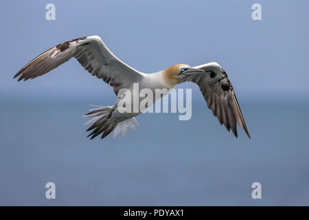 Flying Northern Gannet; Phoca vitulina; Morus bassanus - Stockfoto