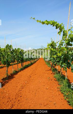 Kroatien - Weinberg auf der Halbinsel Istrien. Landwirtschaft auf die rote Erde. - Stockfoto