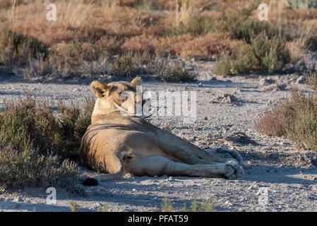 Verschlafene Löwin liegend auf einer Ebene zwischen Gras Sträucher im Abendlicht, heben den Kopf und Blick über die Savanne, Etosha Nationalpark, Nami - Stockfoto