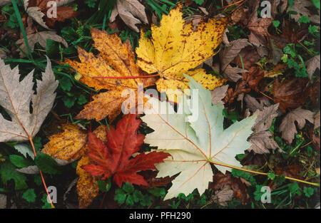 Acer saccharinum, Laub vom Baum auf den Boden. Blätter sind gelappt und in den Farben rot und gelb und mit einer umgedreht mit einem silbrig-weiße Unterseite - Stockfoto