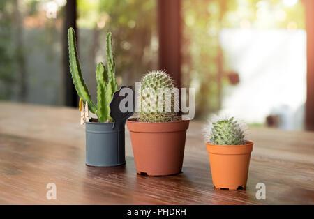Drei Kaktus Pflanzen in Töpfen auf Holztisch mit Sonnenlicht - Stockfoto