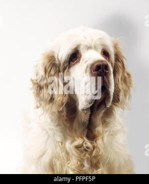 Kopf und Schultern von überwiegend Zitronen- und weißen Clumber Spaniel, Vorderansicht - Stockfoto