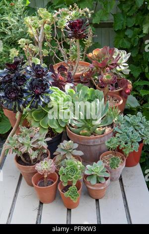 Gemischt und Aeonium Echeveria Sukkulenten in Terracotta Töpfen auf hölzernen Tisch angeordnet. - Stockfoto