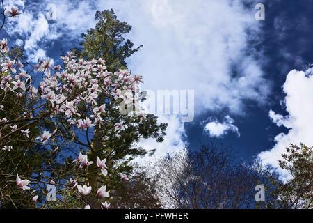Magnolia Blossom hebt sich von einem dunkelblauen Himmel im Benmore Botanische Gärten - Stockfoto