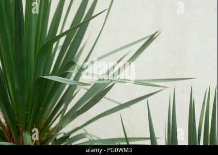 Southern Palm oder dracaena gegen eine weiße strukturierte Wand. Südliche Vegetation, Botanik - Stockfoto