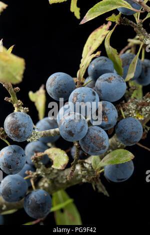 Beeren wachsen auf einem sloe, blackthorn Zweig, Prunus Spinosa. Die Frucht der schlehe wird häufig verwendet, um Geschmack alkoholische Getränke mit Sloe Gin auf - Stockfoto