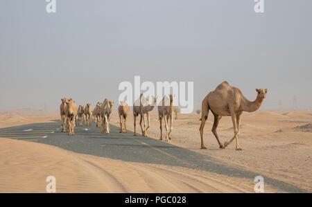 Kamele in der Wüste in der Nähe von Dubai - Stockfoto