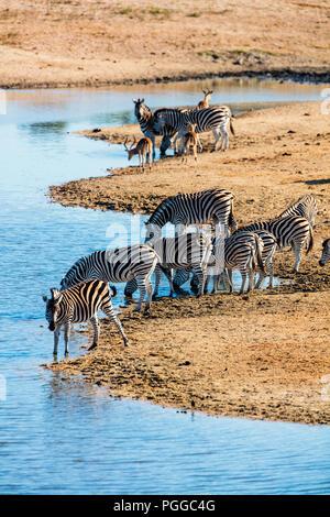 Zebras in der Nähe der Wasserstelle in Safari Park in Südafrika - Stockfoto