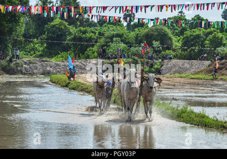 Chau Doc, Vietnam - Sep 3, 2017. Kühe (ox) Racing auf Reis Feld in Chau Doc, Vietnam. Der Ochse racing in Chau Doc hat eine uralte Tradition. - Stockfoto