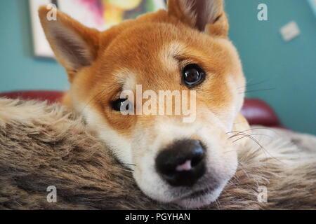 Cute Shiba Inu Welpen nahe liegend - Stockfoto