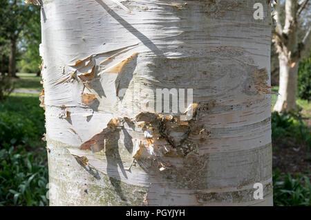 Detail offenbart in Nahaufnahme von Stamm und Rinde von einem silbernen Birke in England Großbritannien - Stockfoto