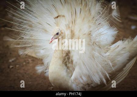 Schöne weiße Pfauen mit Federn aus. Weißer Pfau mit gespreizten Federn. Albino Pfau mit voll Schwanz geöffnet. - Stockfoto