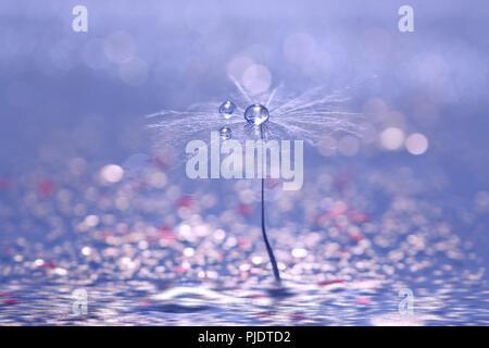 Ein Löwenzahn Samen mit Tropfen auf einem blauen Hintergrund mit einem Bokeh rose. Schöne abstraktnoe Makro - Stockfoto