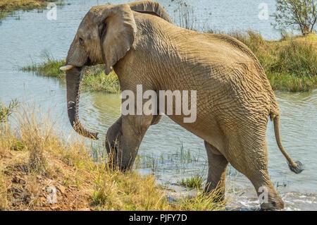 Eine große Riese Elefanten allein in der Nähe von Makorwane Damm in Pilanesberg National Park während der Self Drive Safari ausblenden - Stockfoto