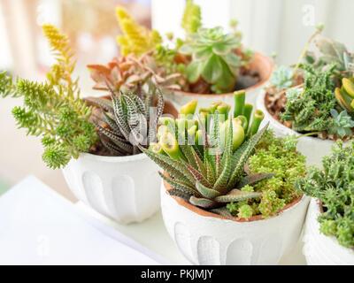 Gruppe der Sukkulenten und Kakteen in weißen Topf auf weißem Hintergrund mit Sonnenlicht isoliert. Cactus Dekoration Konzept. - Stockfoto