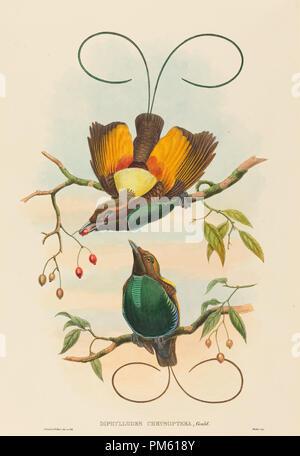 Diphyllodes chrysoptera (Magnificent Bird Of Paradise). Medium: Handcolorierte Lithographie. Museum: Nationalgalerie, Washington DC. Autor: John Gould und W. Hart. - Stockfoto