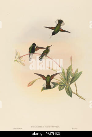 Callipharus nigriventris (Black-bellied Kolibri). Medium: Handcolorierte Lithographie. Museum: Nationalgalerie, Washington DC. Autor: John Gould und W. Hart. - Stockfoto