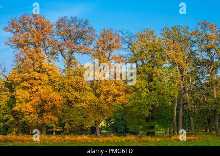 Ein schönes Bild aus einer Reihe von hohen Bäumen mit bunten Blättern, die einen goldenen Herbst an einem sonnigen Tag mit einem schönen blauen Himmel bei den berühmten Wald... - Stockfoto