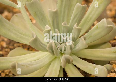 Echeveria runyonii ist eine Pflanzenart aus der Gattung der blühenden Pflanze in der sedum Familie Crassulaceae - Stockfoto