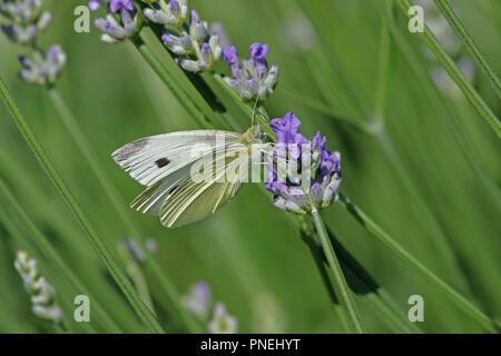 Kleine weiße oder kohlweißling Pieris rapae closeup Latein Fütterung an einem blühenden Lavendel lavandula im Frühjahr in Italien - Stockfoto