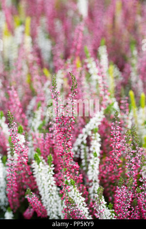 Calluna vulgaris 'Beauty Damen Blumen. - Stockfoto