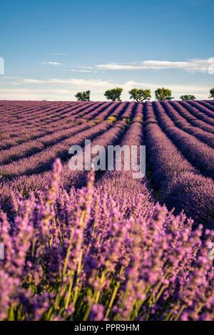 Lavendel-Feld in der Provence, Frankreich - Stockfoto