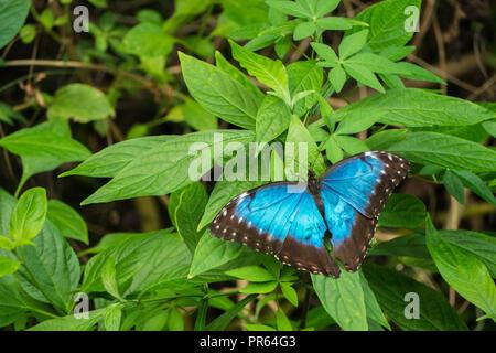 Blaue Morpho, Morpho peleides, großer Schmetterling sitzt auf grüne Blätter, schöne Insekt in der Natur Lebensraum, die Tier- und Pflanzenwelt von Amazonas in Peru, South Ameri - Stockfoto