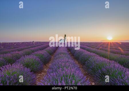 Frankreich, Alpes-de-Haute-Provence, Valensole, Lavendelfeld in der Dämmerung - Stockfoto