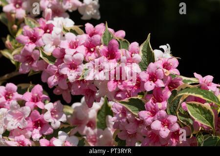 Wigelia bunte (Weigela Florida Nana Variegata) in voller Blüte mit rosa und weißen Blumen in einem Garten in Cardiff, South Wales, Großbritannien - Stockfoto