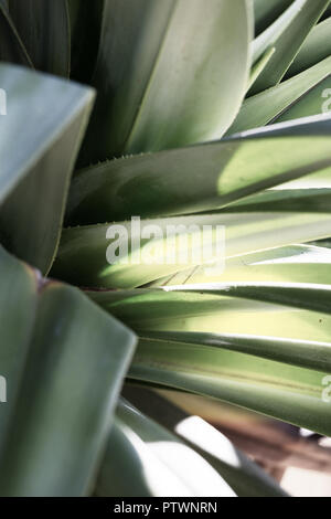 Tropischen Küsten pandanus Palm Blätter closeup - Stockfoto