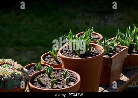 Terracotta garten Töpfe beleuchteten auf einer Holzbank mit Pflanzungen von jungen Tulpen und Sukkulenten. - Stockfoto