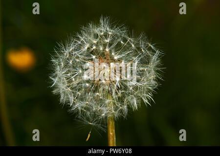 Löwenzahn in der Blütezeit ist in der Nähe gezeigt wird. Ausgewählte einzelne Samen mit Beinen, die von der Blume unter Böen befinden. - Stockfoto