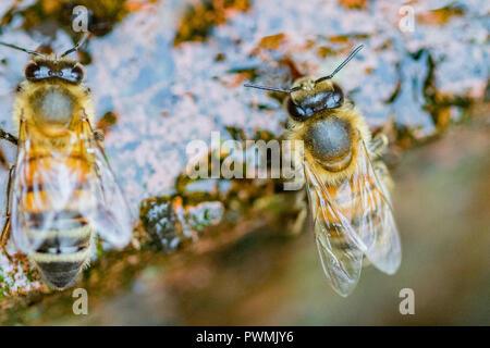 Westliche Honigbiene Trinken von Wasser im Garten - Stockfoto