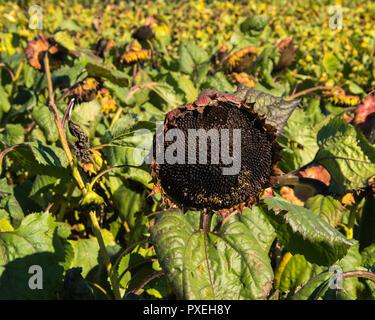 Nahaufnahme eines großen Toten Sonnenblume mit einem Feld von toten Sonnenblumen im Hintergrund - Stockfoto