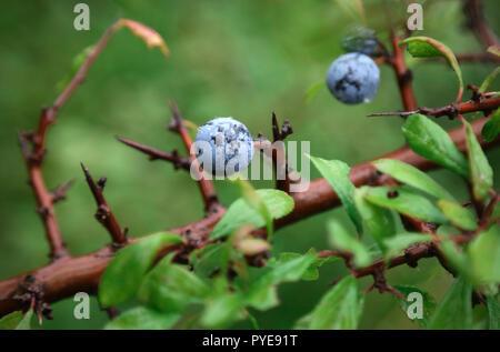 Prunus spinosa oder Schlehe im Garten outdoor - Stockfoto