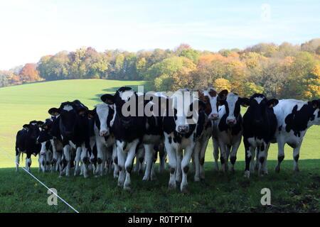 Schöne grasende Kühe auf der Weide - Stockfoto