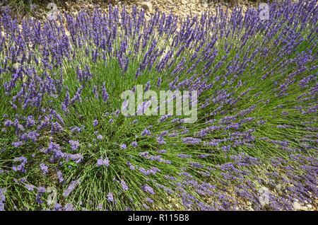 Nahaufnahme der blühenden Lavendel in Valensole, Provence, Frankreich, lila, grün, hell, Kräuter, Blumen, Insekten, Parfüm, ätherische Öle, gesund, Sonnig - Stockfoto